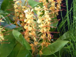 Hedychium - Image courtesy of Weedbusters