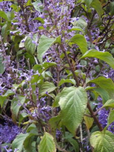 Plectranthus Ecklonii - Image courtesy of Weedbusters