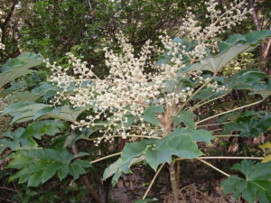 Tetrapanax Papyriferus - Image courtesy of Weedbusters